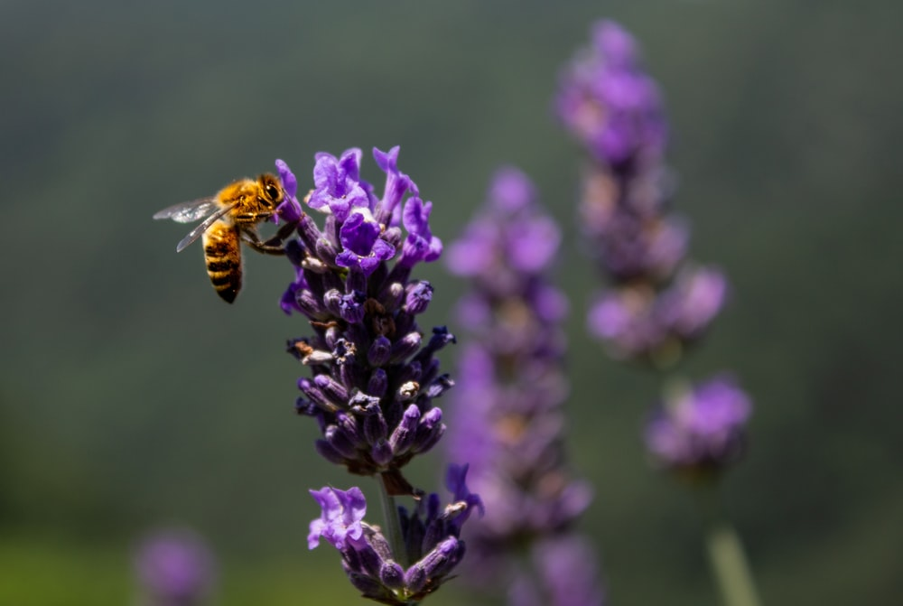 selective focus photography of yellow bee hovering on purple flower during daytime
