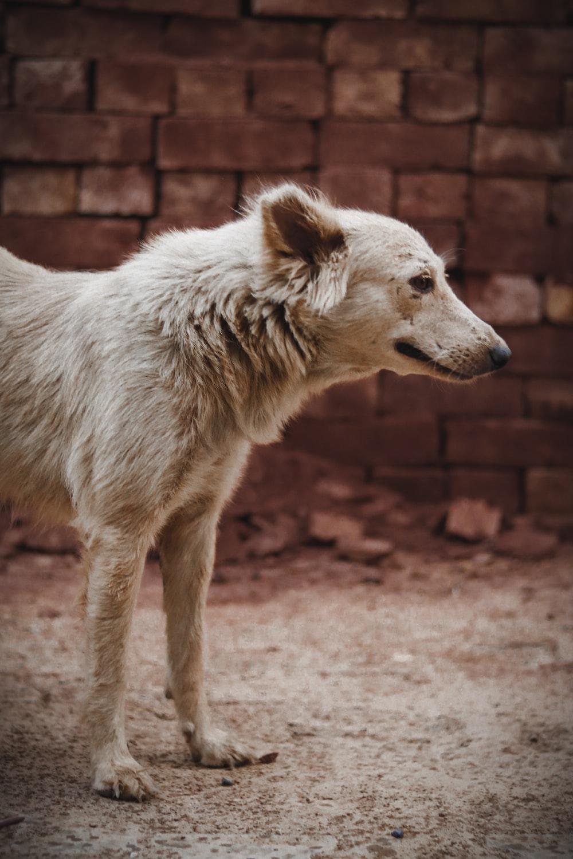 brown short coat medium sized dog