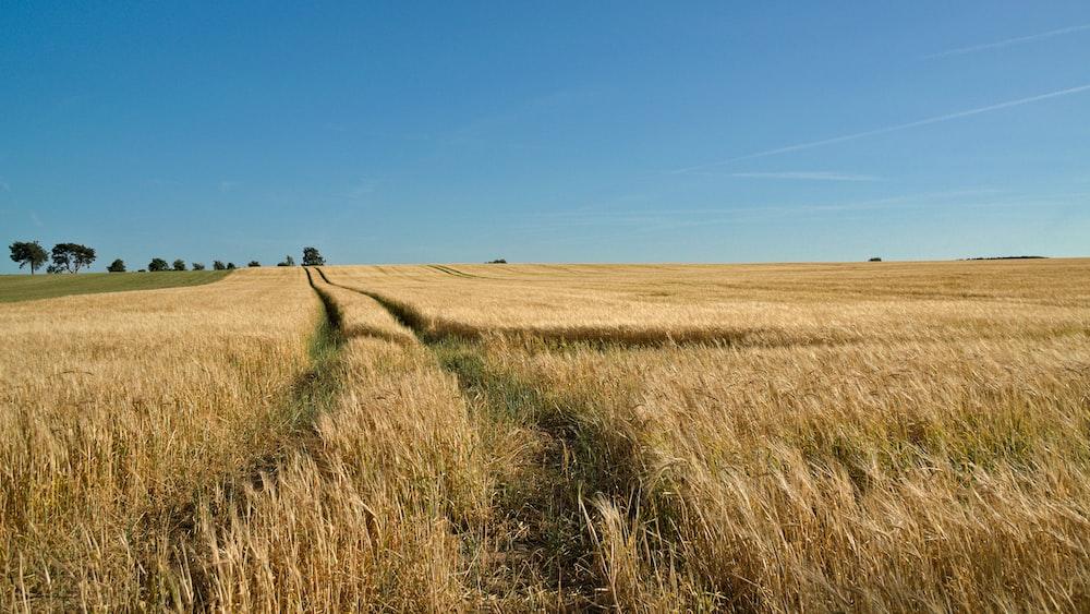 brown grass field under clear blue sky