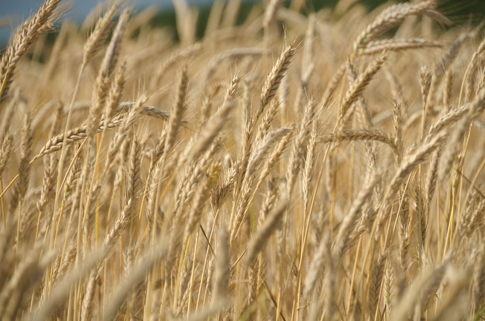 selective focus photography of wheat field