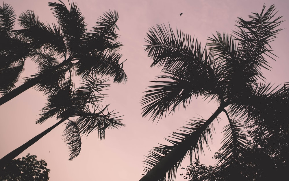 low-angle photo of silhouette of coconut palm trees