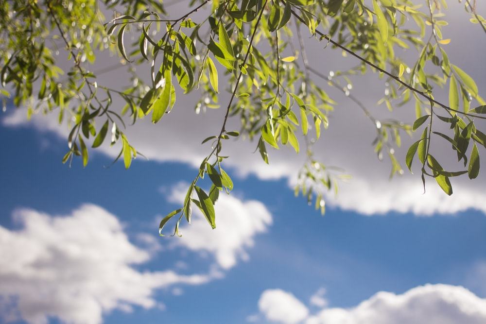 green-leafed tree under white clouds