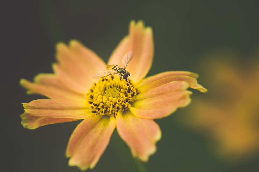 bee sticking on orange petaled flowers