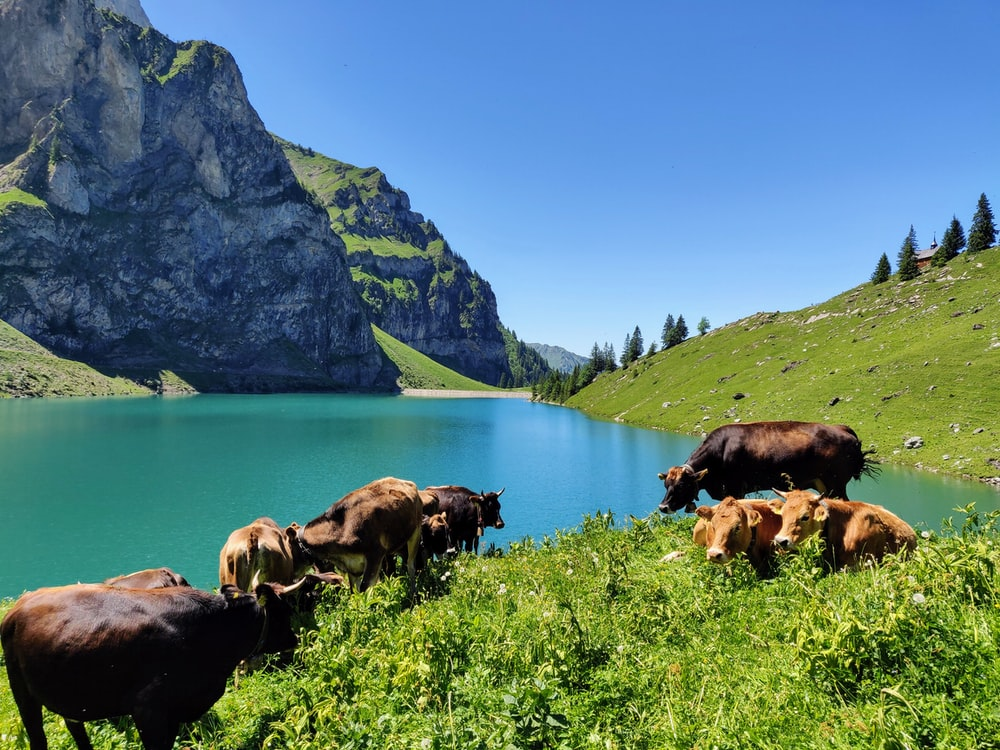 herd of cattle near the lake