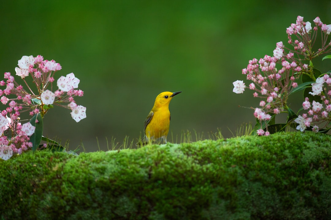 A vibrant yellow Prothonotary Warbler perched on a mossy log with some pink and white Mountain Laural flowers framing it on either side and a smooth green background.