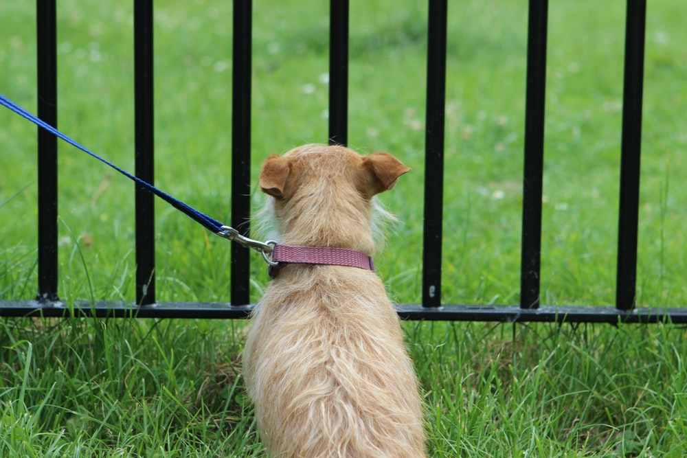 long-coated brown dog sitting on grass beside black metal fence
