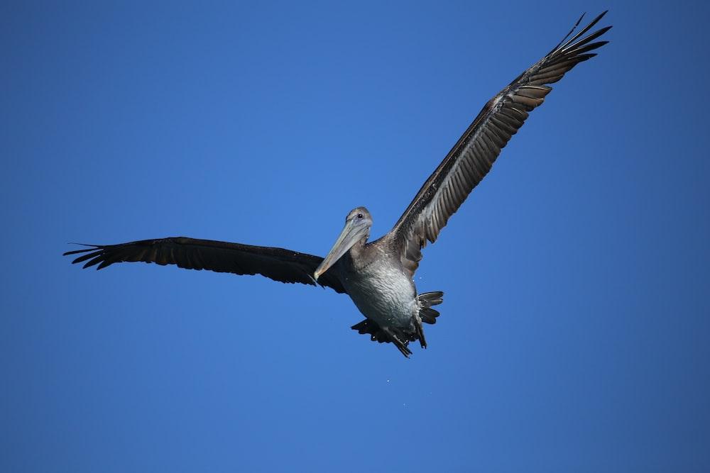 soaring gray pelican