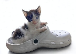 calico kitten on white rubber clog shoe