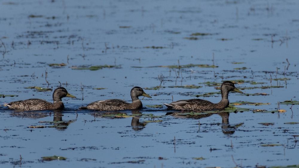 three mallard ducks on lake