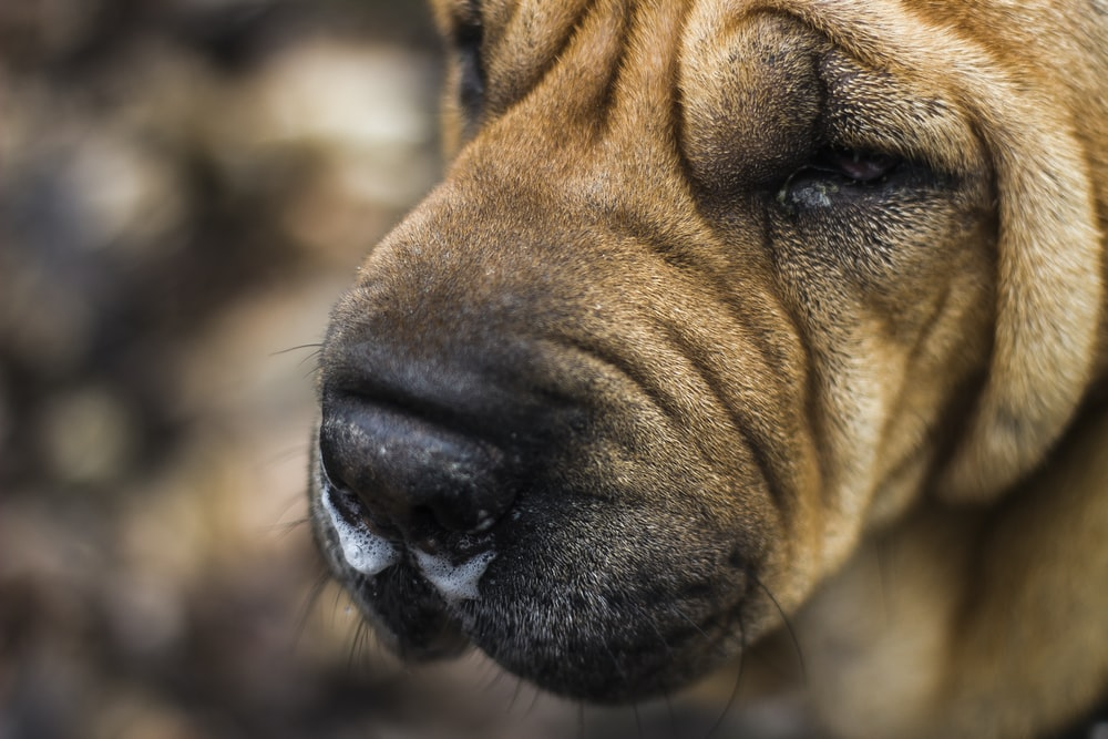 close view of brown dog face