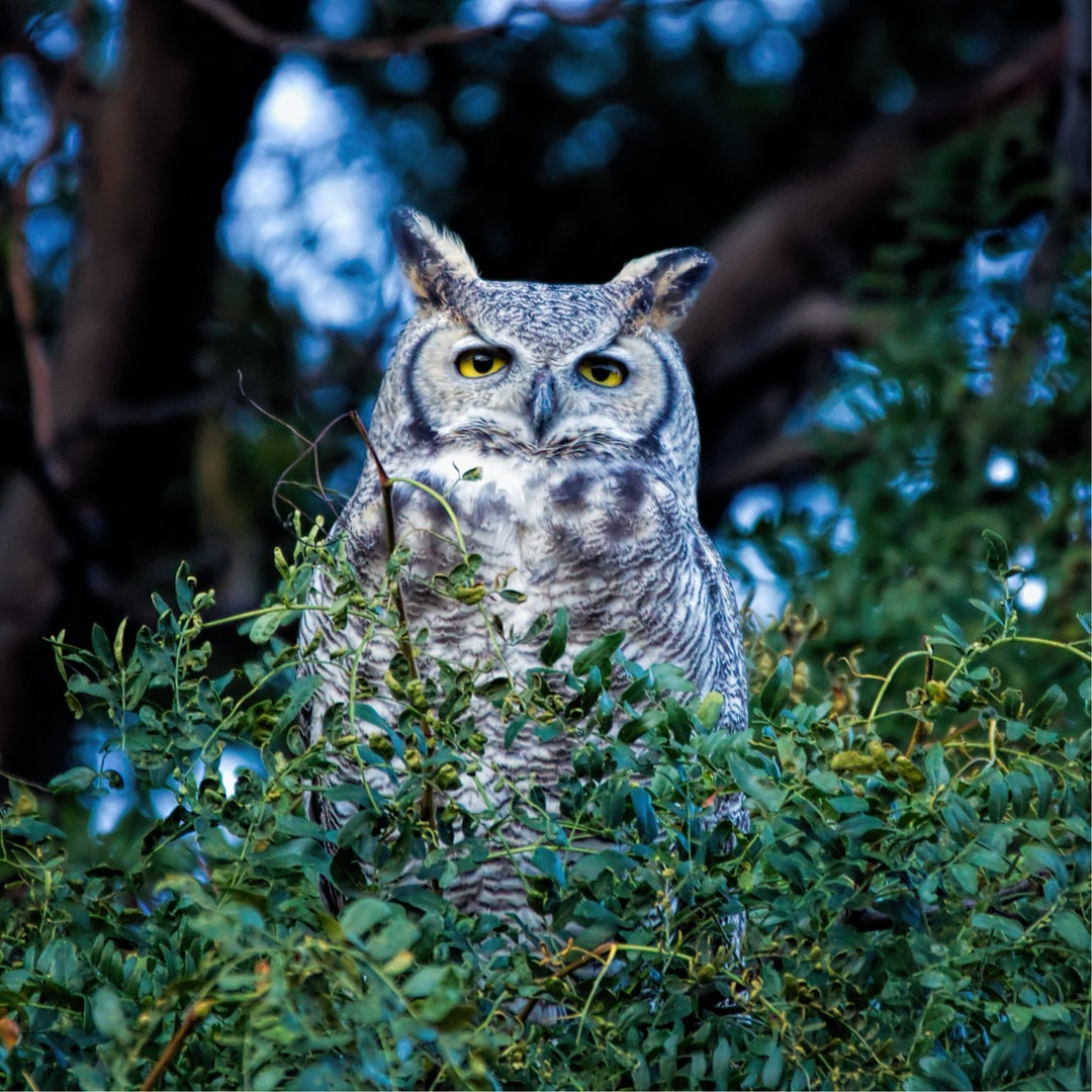 Image taken from our back yard.  The great horned owl, also known as the tiger owl, or the hoot owl.
