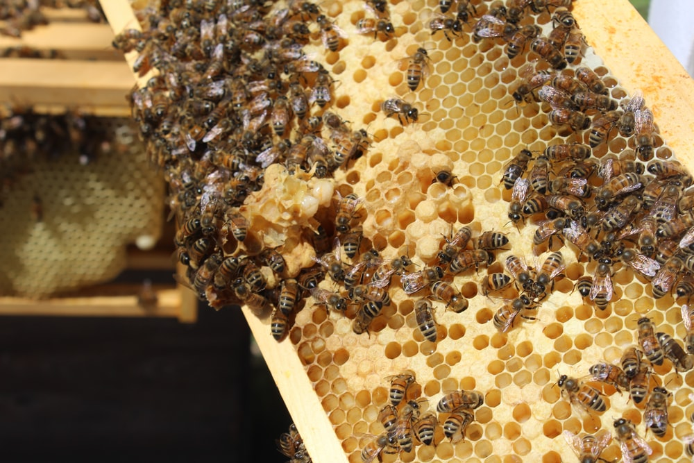 brown bees