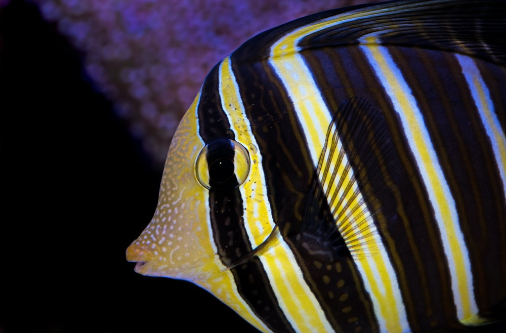 yellow and brown striped discus fish