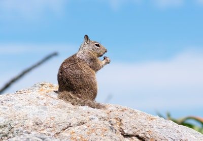 brown squirrel groundhog teams background