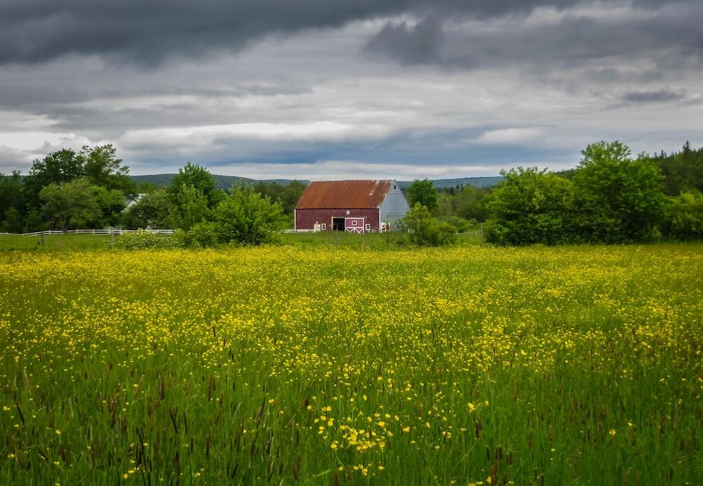 yellow flower field
