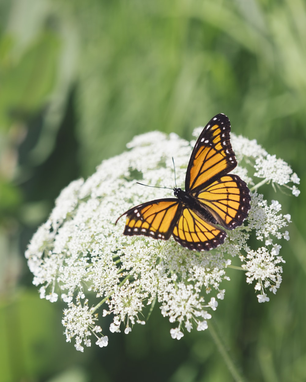 selective focus photography of brown butterfly on white petaled flowers