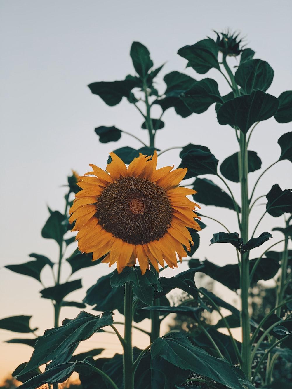 yellow sunflower during daytime