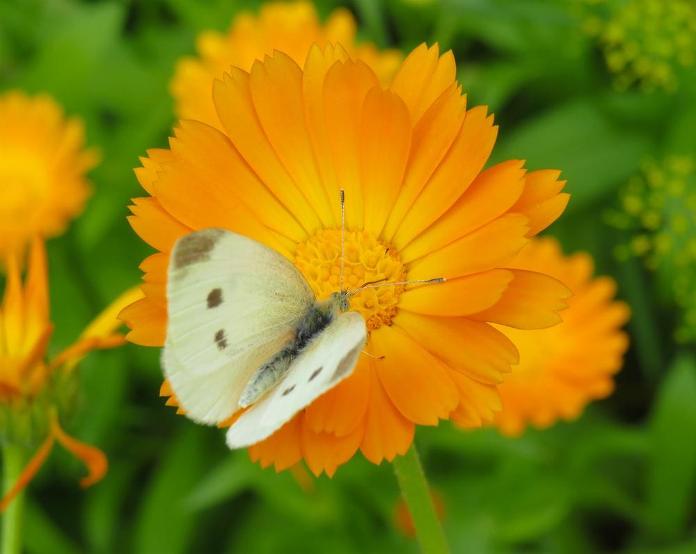 butterfly on yellow orange daisy