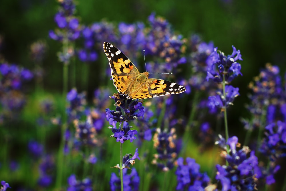 yellow and black butterfly perching on blue petaled flowers