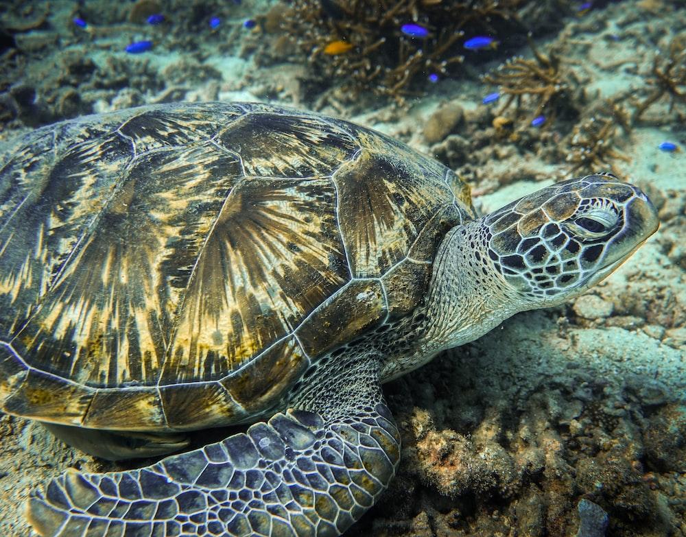 tortoise underwater