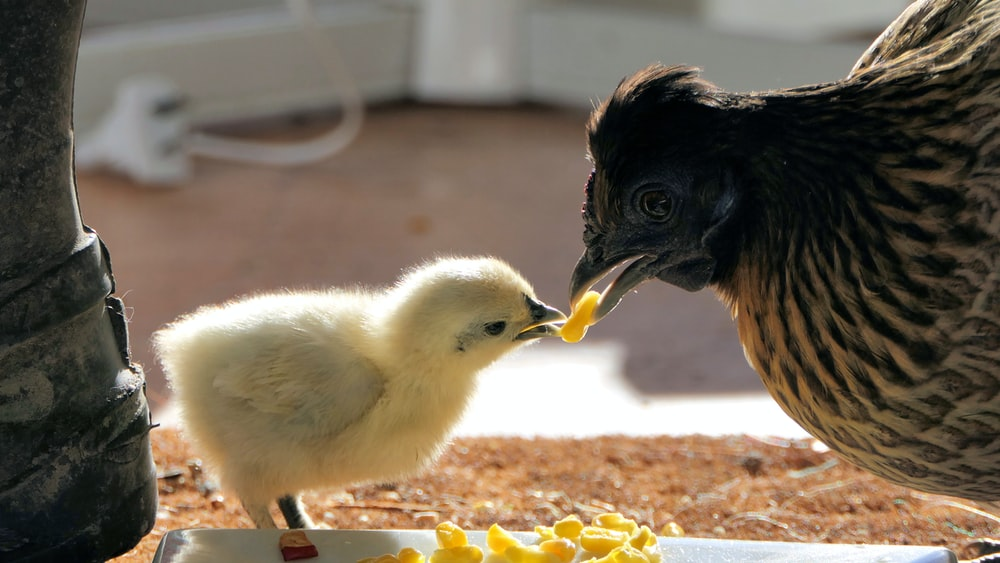 yellow chick and brown hen