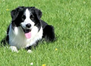 black and white long-coat dog