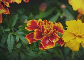 yellow and red flowers with green leaves