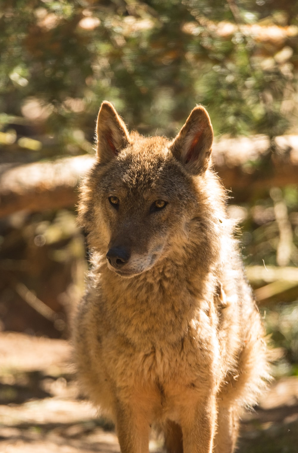 brown coated fox