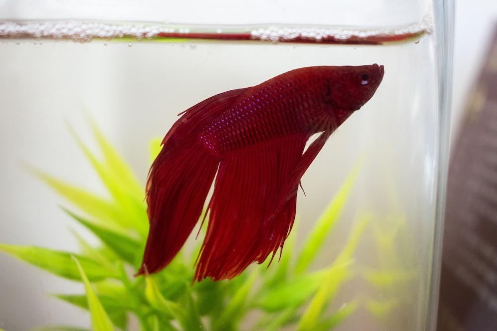 red Siamese fighting fish in fish tank