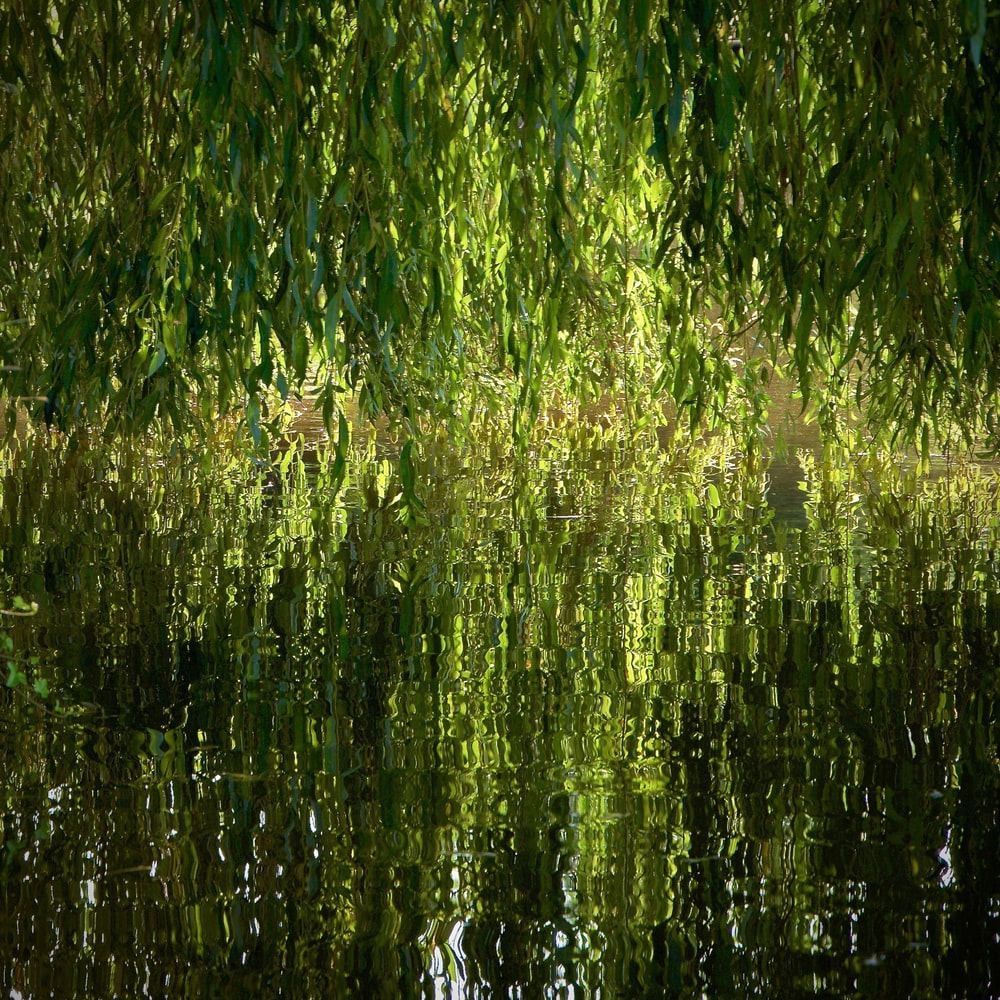 green weeping willow near body of water