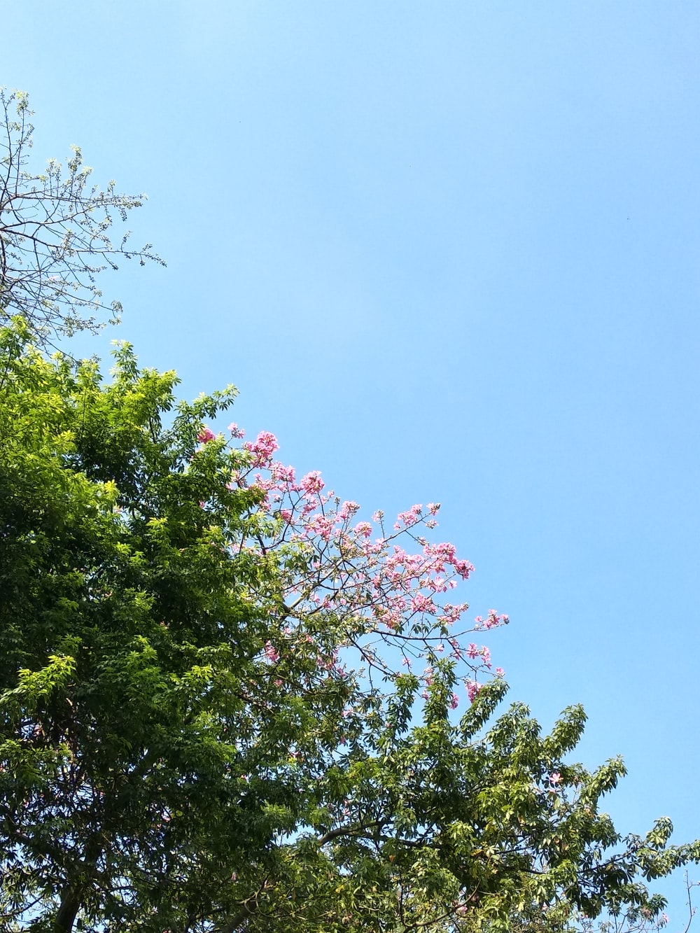 green-leafed pink-petaled flowering tree under calm blue sky