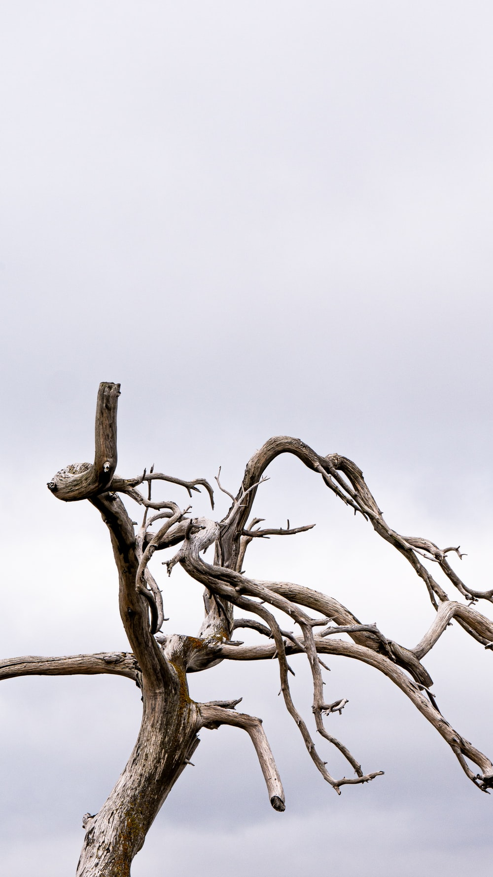 withered tree under gray sky