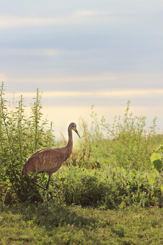 brown bird standing on grass field during daytime