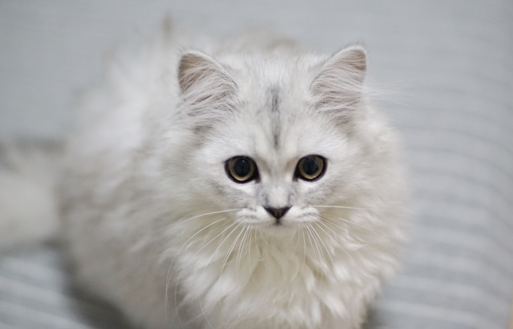 close-up photo of white long-fur cat