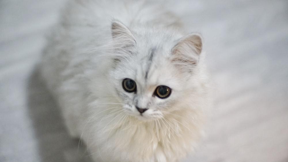 long-fur white cat
