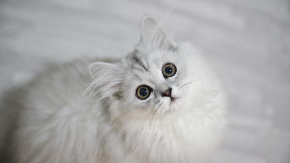 long-furred white cat