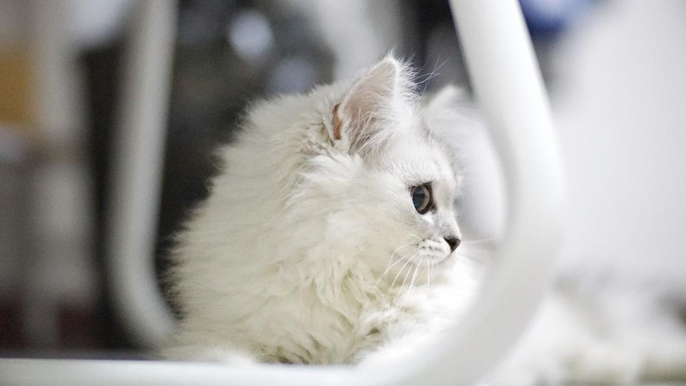 close-up photo of white fur kitten