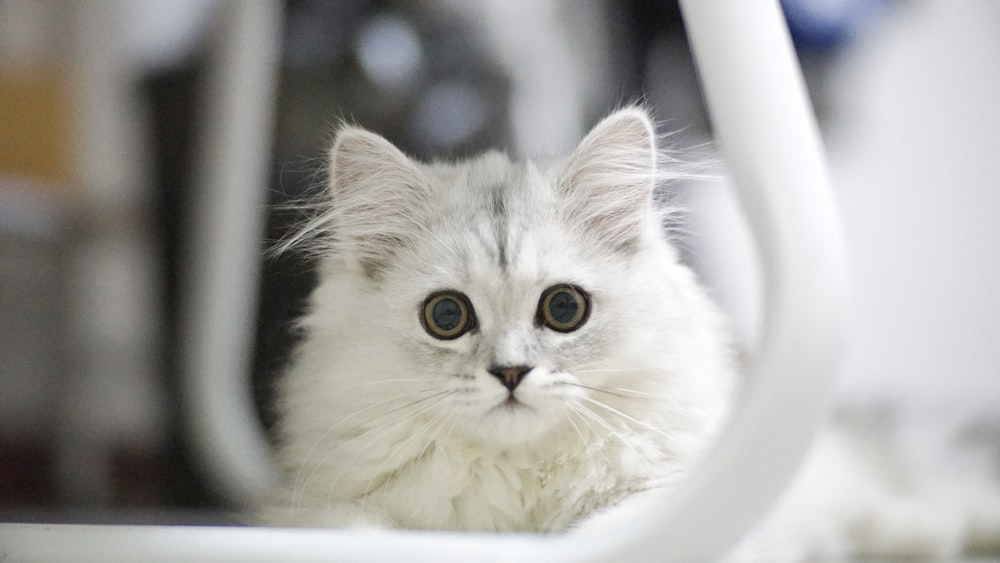 white cat facing on camera