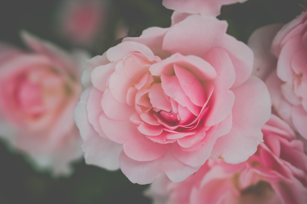 pink-and-white roses