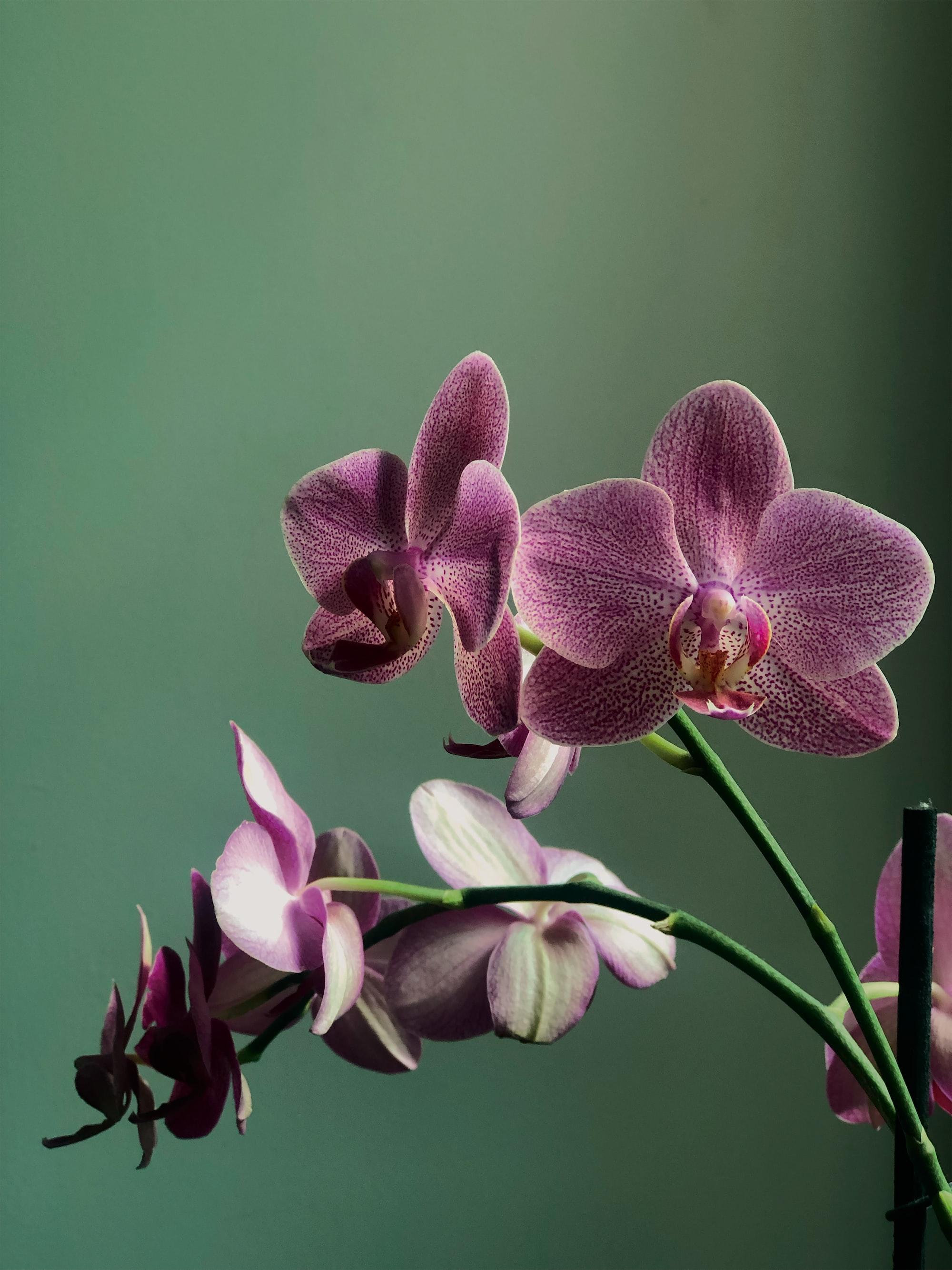 Aria pura d'orchidea