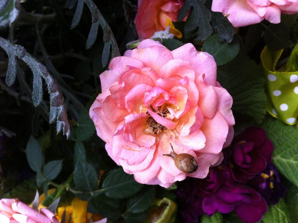 brown snail on pink rose flower