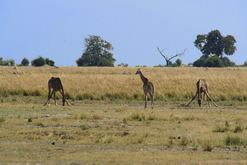 three brown giraffe