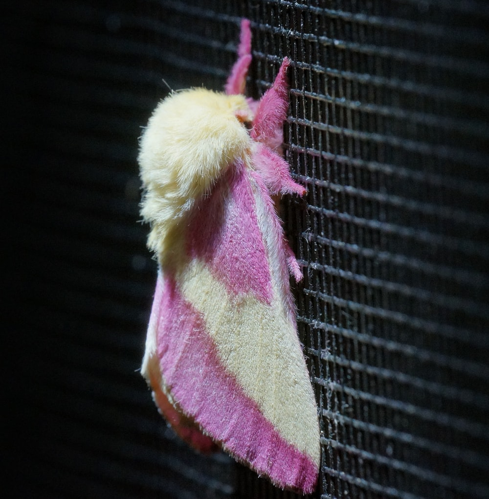 shallow focus photography of pink and yellow moth