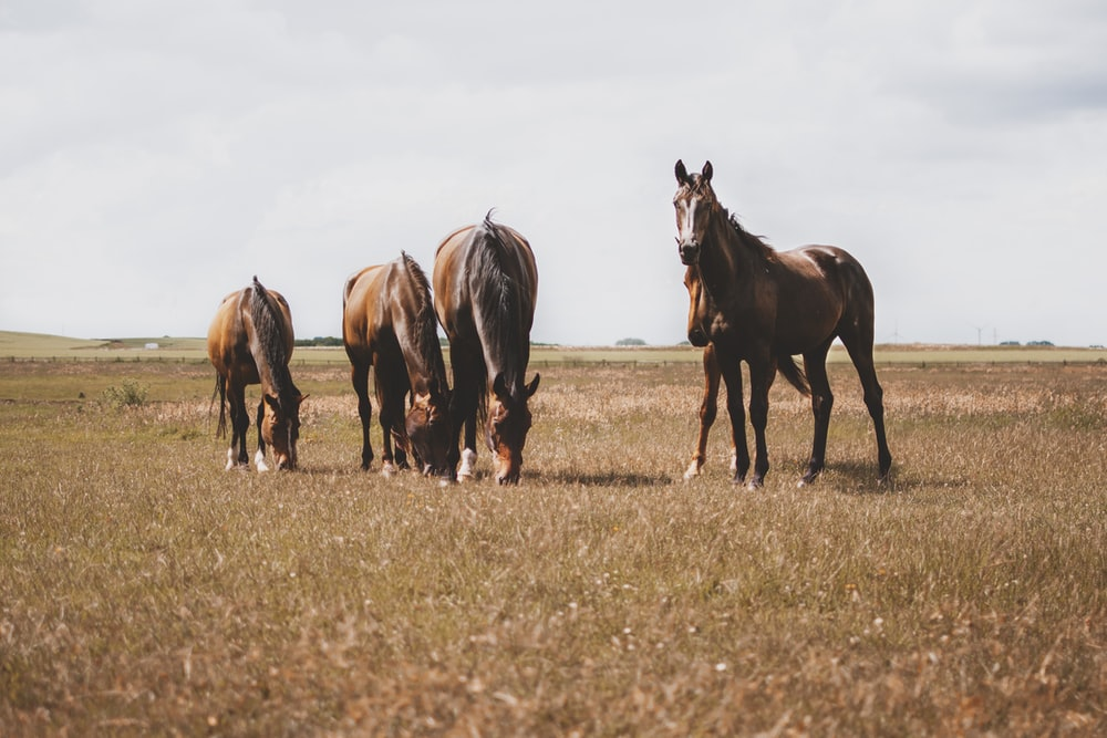 four brown horses on brown grass field