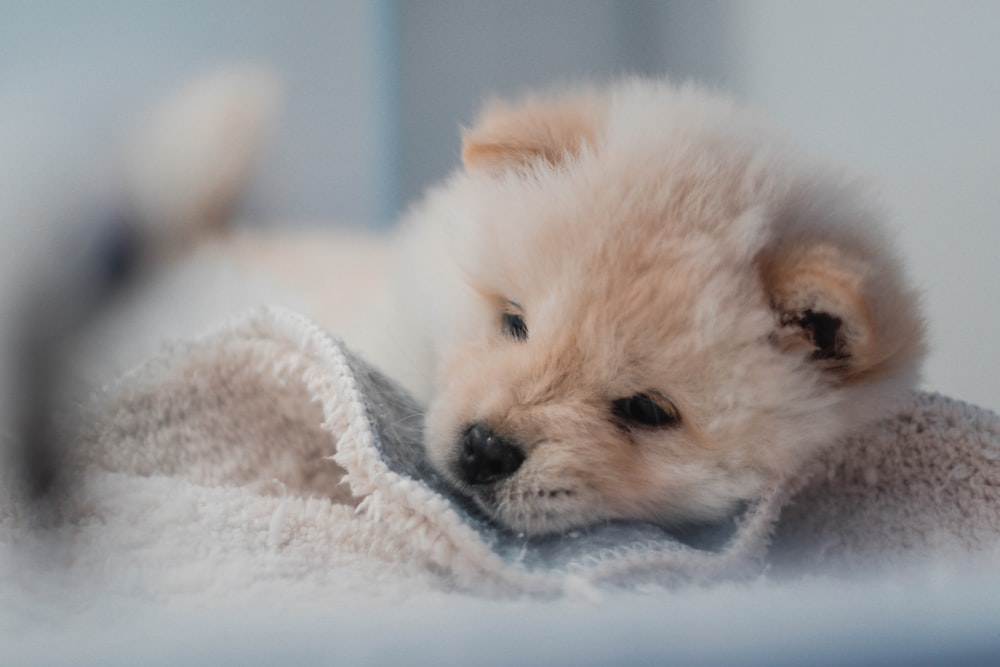 tan chow-chow puppy on towel