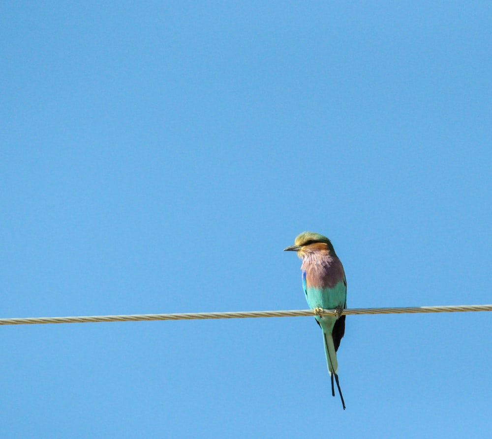 photography of blue and pink Bee-eater bird perching on wire