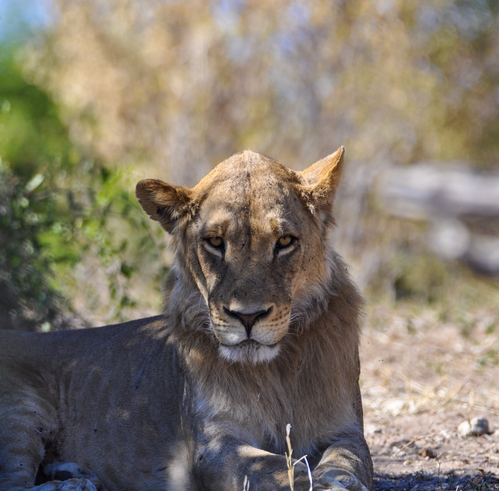 brown female lion lying on ground