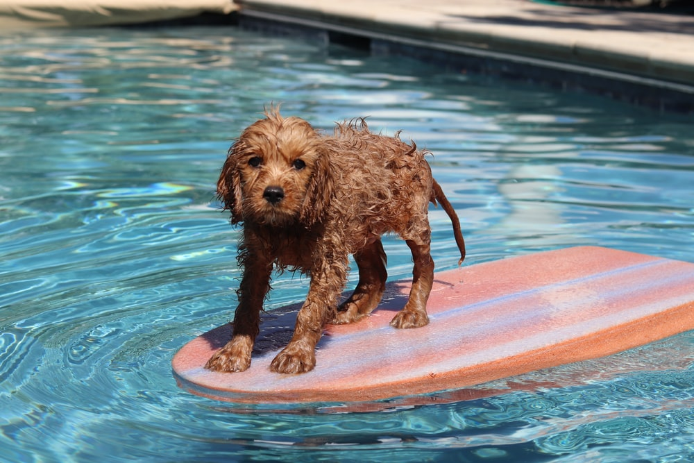 brown schnauzer dog on pool float