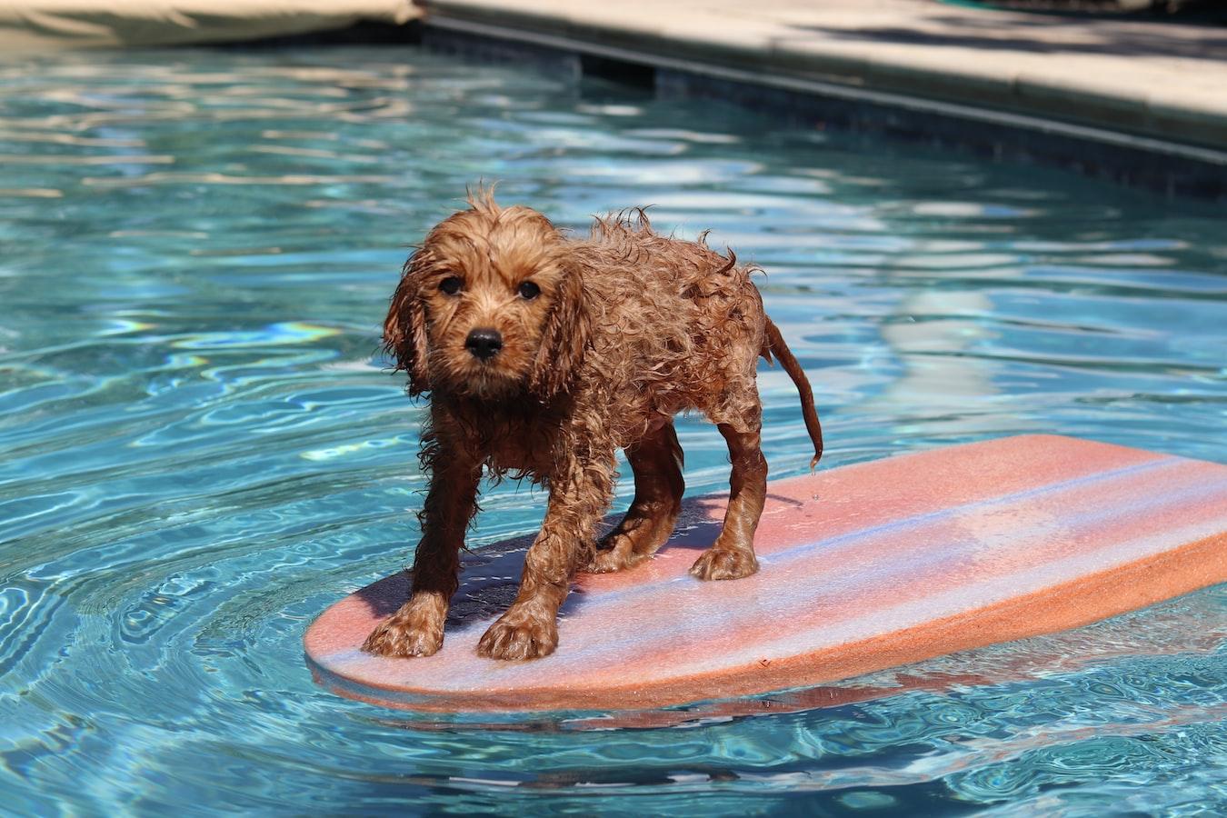 Cachorro em cima de uma pranchinha, na piscina