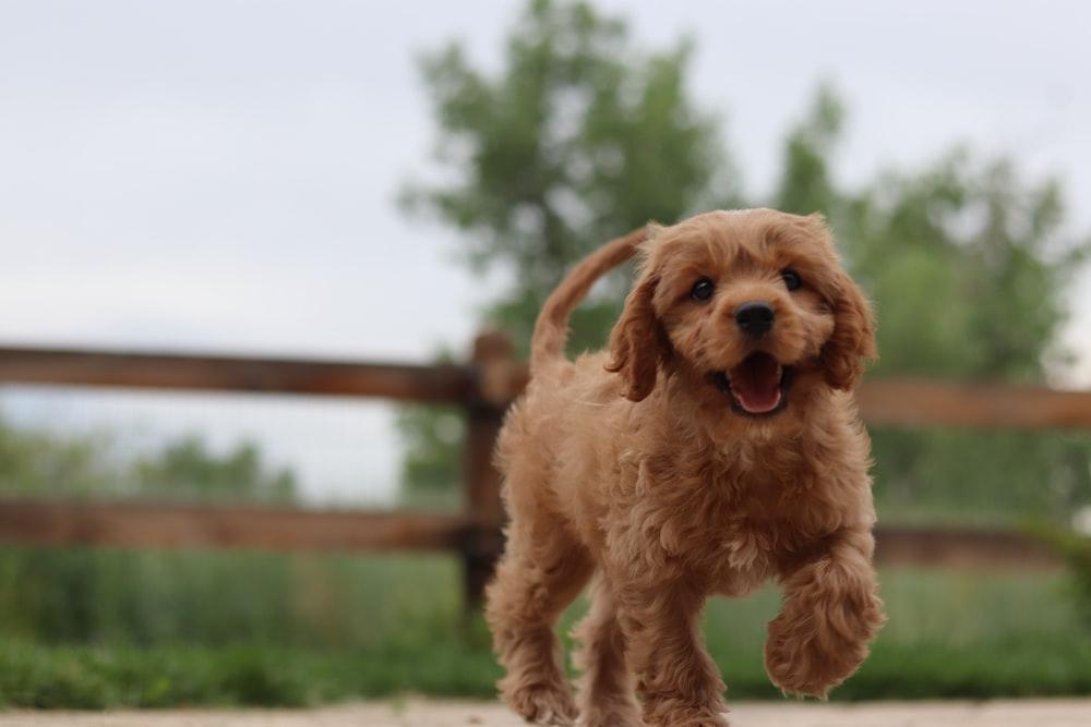 short-coated tan puppy